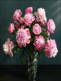 Pink Peonies varieties Barbara