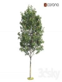 Deciduous rowan tree