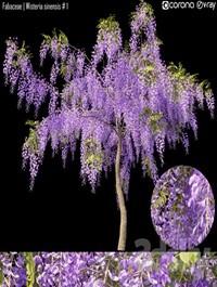 Fabaceae Wisteria sinensis # 1