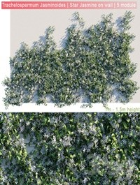 Trachelospermum Jasminoides | Star Jasmine on wall