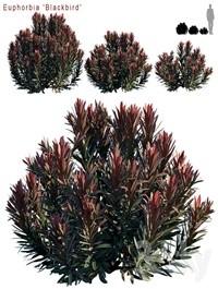 Euphorbia Blackbird Cushion spurge