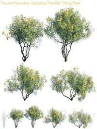 Thevetia Peruviana Cascabela Thevetia