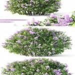 Lilac blooming No2