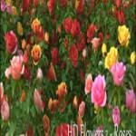HD Flowers vol.1 for Cinema4D
