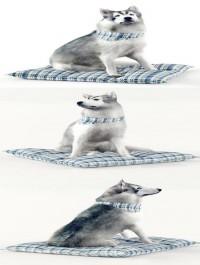 Husky Dog 02