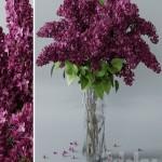 lilac 3