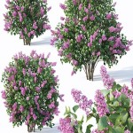 Cgtrder Lilac Syringa vulgaris Nr5 Three sizes 3D model
