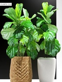 Cgtrader ficus plants 115 3D model