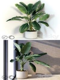 Plant Strelizia in a concrete pot