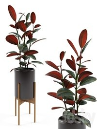 Ficus elastica Black Prince