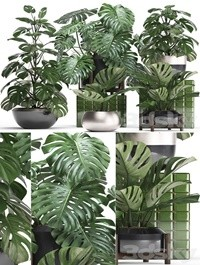 Plant collection 351 Monstera