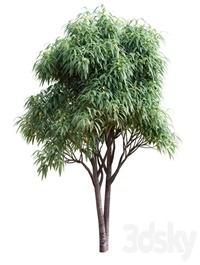 Deciduous tree with fruit Medlar