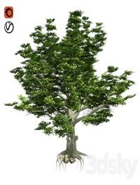 American Beech Tree Low Poly