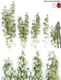 Bambusa Multiplex Hedge Bamboo 01