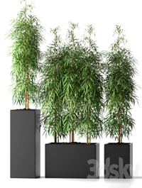 BAMBOO PLANTS 20