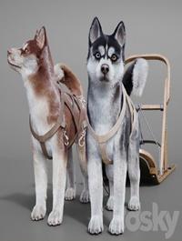 Dog team Huskies sled pulka