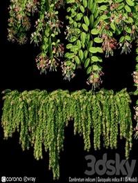 Combretum indicum Quisqualis indica # 1