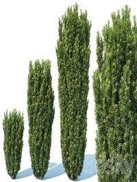 Taxus Baccata # 1 Fastigiata Robusta V2