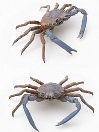 Spider ,Crab