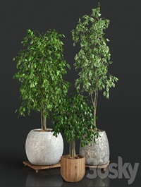 Collection of plants 1   ficus