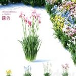 Bearded iris flowers | Iris germanica 4 colors