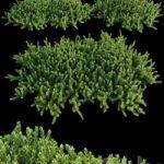 Arctostaphylos Manzanita Emerald Carpet # 1