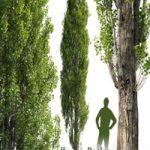 Poplar / Populus #1