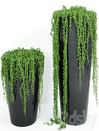 String Of Pearls Plant 4