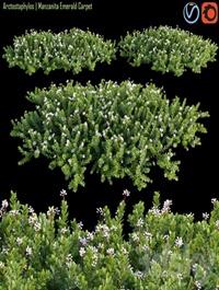 Arctostaphylos   Manzanita Emerald Carpet # 2