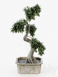Bonsai tree ficus